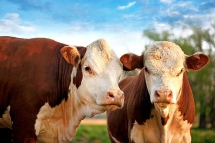 Køer vil ikke have noget imod at finde ly under stålplader